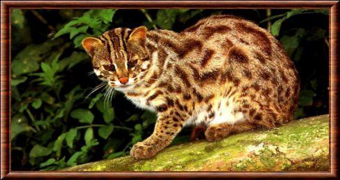 Chat,léopard du Bengale (Prionailurus bengalensis)
