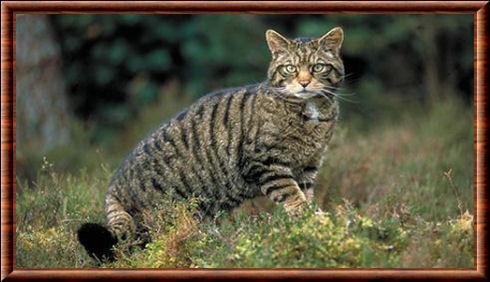 Chat sauvage d\u0027Écosse (Felis silvestris grampia)