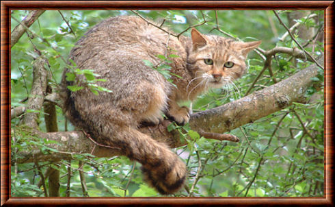 Chat sauvage d'Europe (Felis silvestris silvestris)