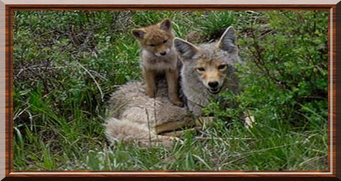 coyote canis latrans. Black Bedroom Furniture Sets. Home Design Ideas