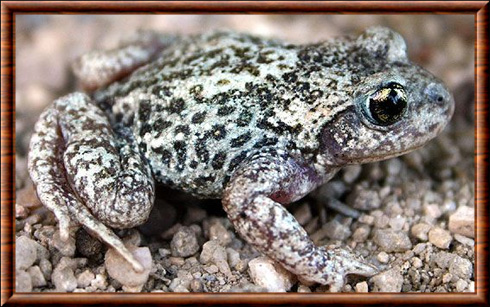 Crapaud accoucheur commun (Alytes obstetricans)