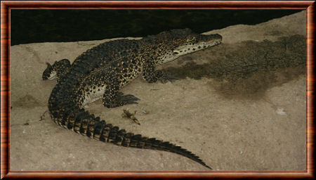Crocodile cubain