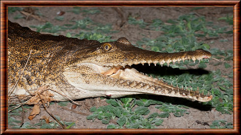 Crocodile de Johnston (Crocodylus johnsoni)