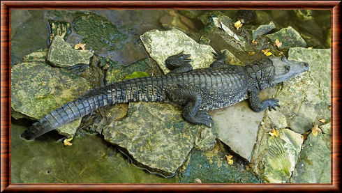 Crocodile de Morelet (Crocodylus moreletii)