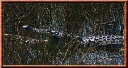 Crocodile de Morelet 04