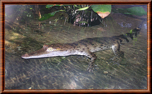 Crocodile des Philippines (Crocodylus mindorensis)