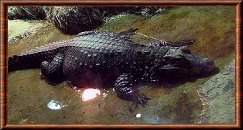 Crocodile nain 04