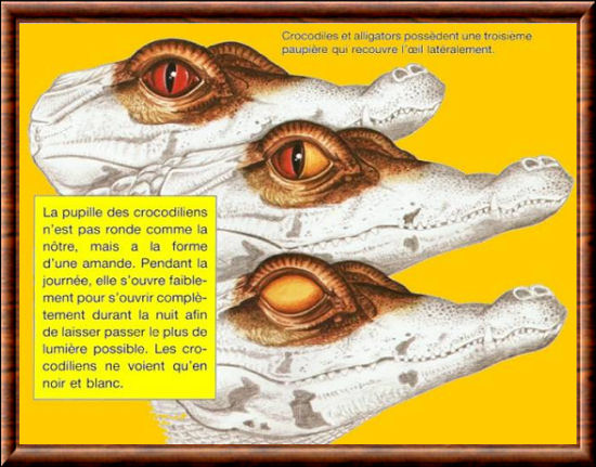 Crocodiliens 01