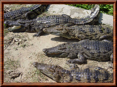 Crocodiliens 02
