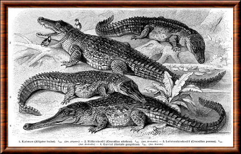 Crocodiliens 03