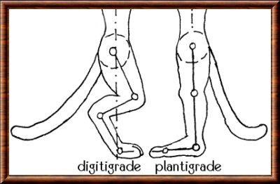 Digitigrade