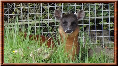 Dwarf Red Brocket