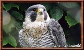 Falcoperegrinus