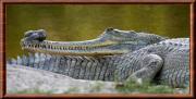 gavialis.jpg