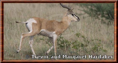 Gazelle de Soemmerring 03 La gazelle de Soemmerring