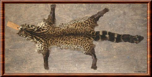 Giant forest genet