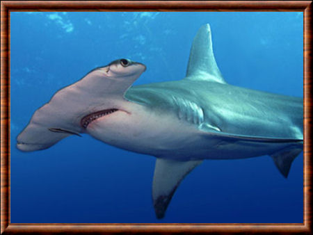 Grand requin-marteau 01