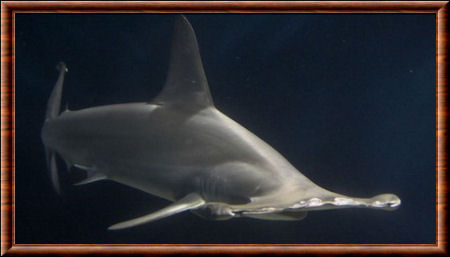 Grand requin-marteau 02