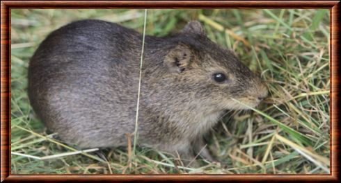 Greater guinea pig