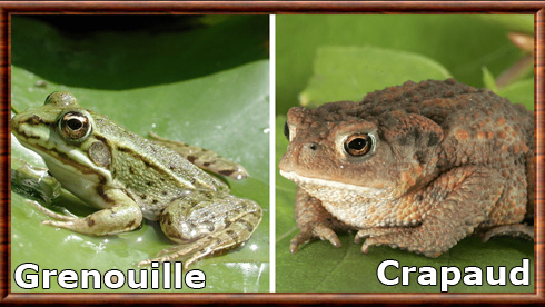 Grenouille 02