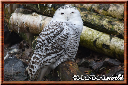Harfang des neiges (Bubo scandiacus)