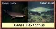 hexanchus.jpg