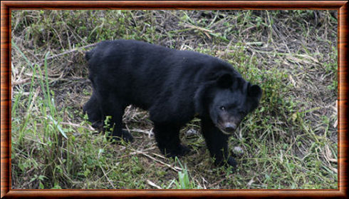 Himalayan black bear