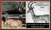 Hippotragus