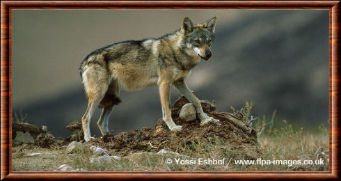 Indian gray wolf