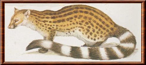 Johnston's genet