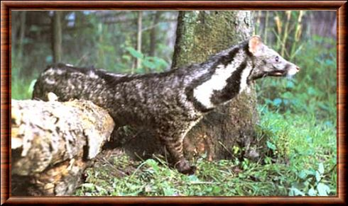 Large indian civet