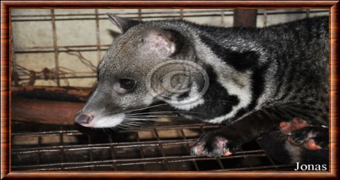 Large-spotted civet