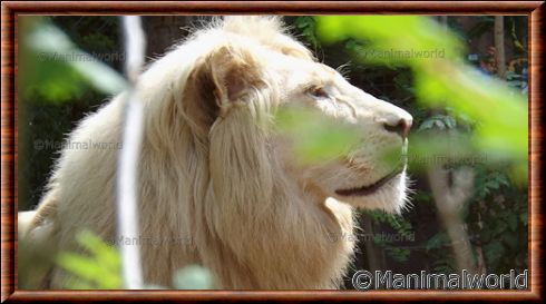 Portrait du lion blanc