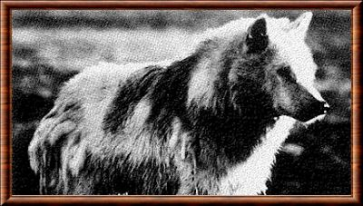 Loup du Groenland (Canis lupus orion)