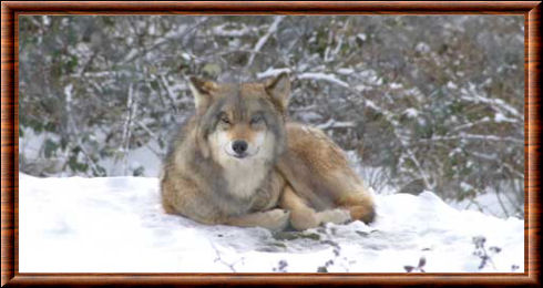 Loup russe