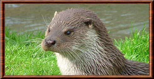 Loutre d'Europe 01