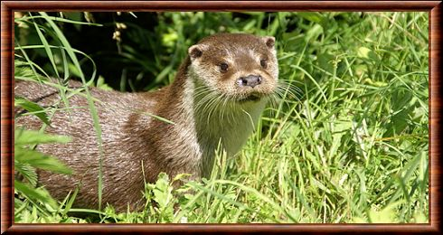 Loutre d'Europe 02