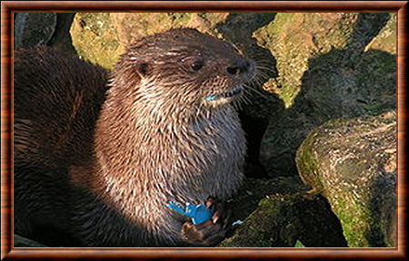 Loutre marine 01