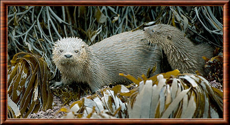 Loutre marine 03