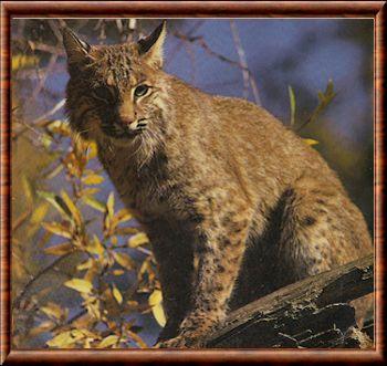 Lynx roux (Lynx rufus)