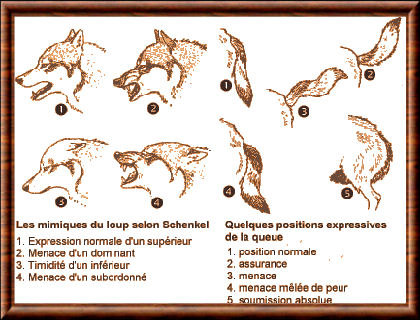 Comportement du loup