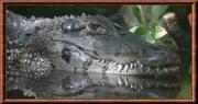 melanosuchus