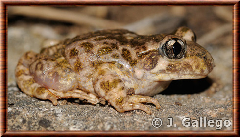 Moroccan midwife toad
