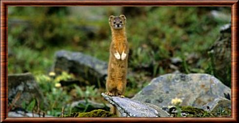 Mountain weasel