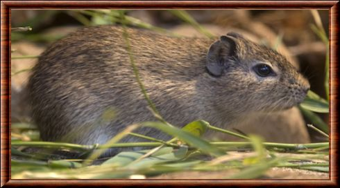 Muenster Yellow-toothed Cavy