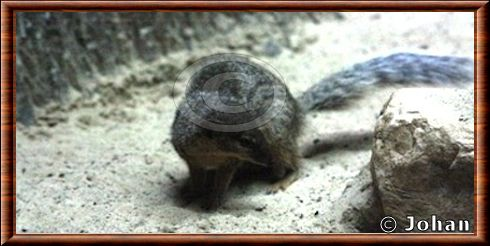 Narrow-striped mongoose