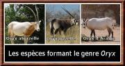 Oryx genre