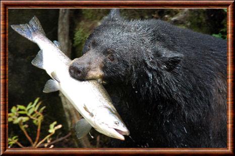 Ours noir am ricain ursus americanus - Animal qui mange les fourmis ...