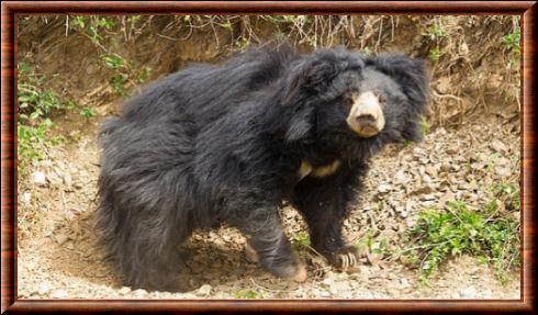 Ours noir de l'Himalaya (Ursus thibetanus laniger)
