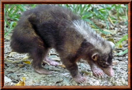 Palawan stink badger